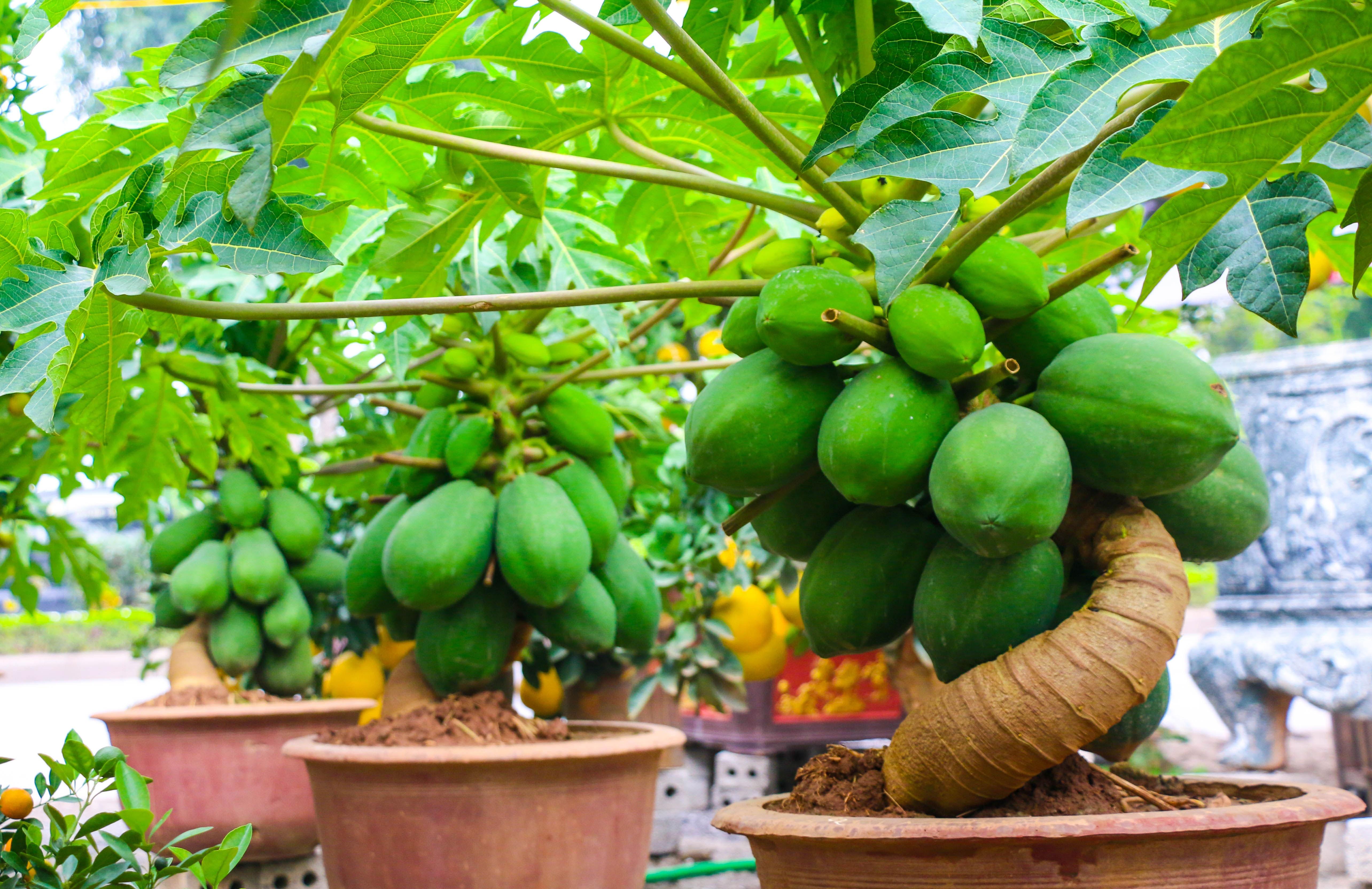 du du bonsai cay canh bac trieu hut khach dip tet nguyen dan 2019