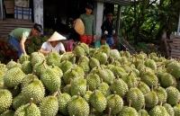 sau rieng vip o sai gon quanh nam chi ban mot gia 200000 dongkg khach mua khong duoc mang nguyen trai ve