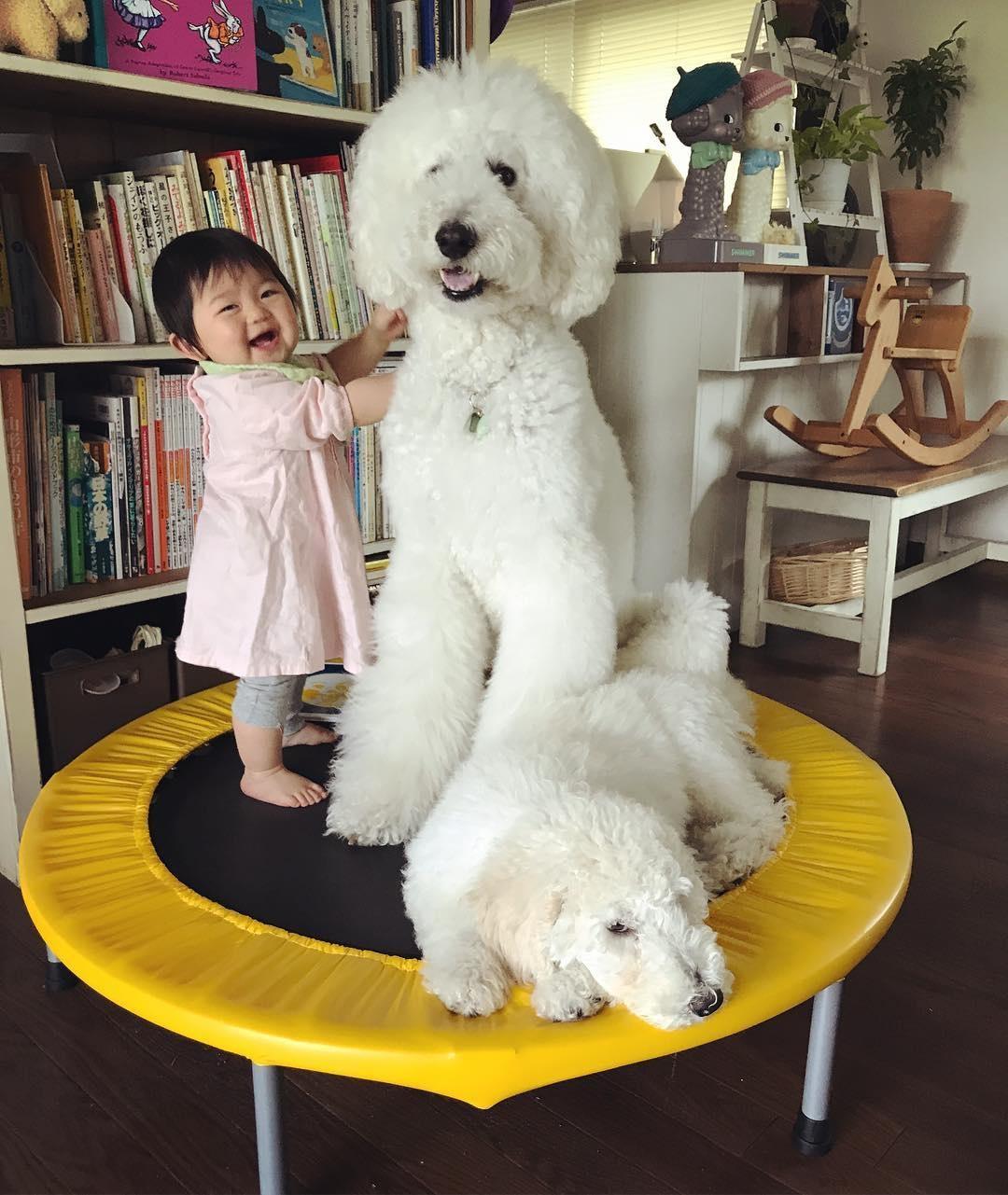 co be 2 tuoi bong noi tieng khap mang xa hoi nho loat anh cung cho poodle sieu de thuong