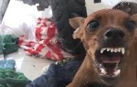 cho pitbull bi nghi can chu nhan den tu vong